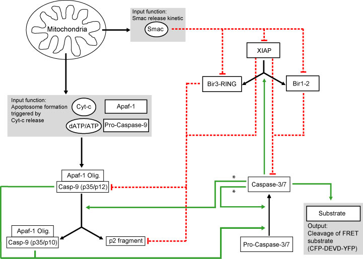 intrinsic pathway downstream of MOMP